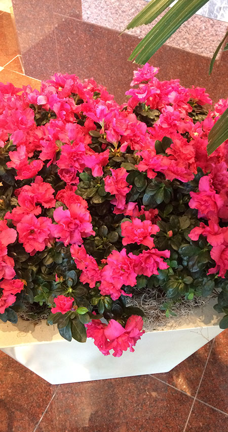 An image of azaleas