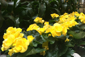 An image of yellow begonias