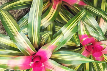 An image of Neoregelia